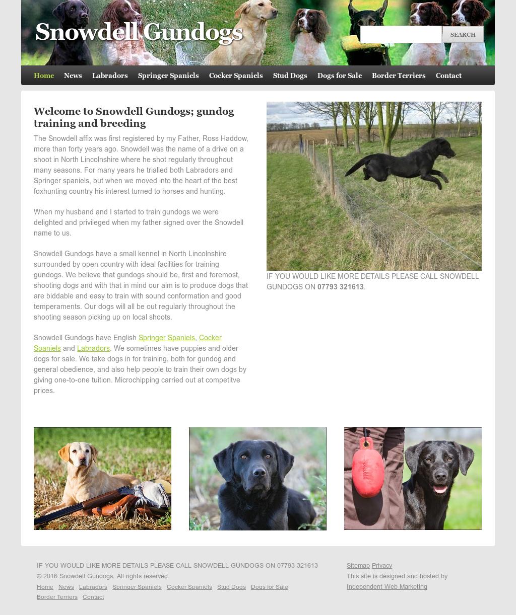 Small Labrador For Sale